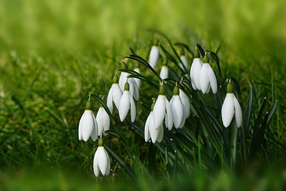 Jarné kvety - Snežienka
